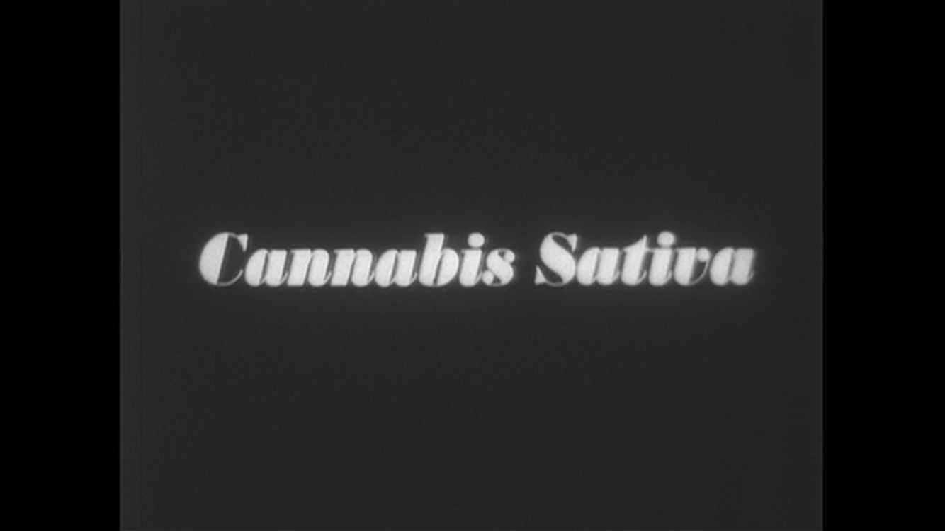 """The State of Cannabis Sativa in 2020"""