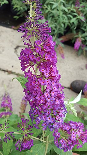 Zwerg - Schmetterlingsstrauch Buddleja Buzz Pink Purple