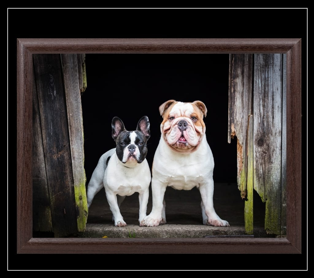 Brexit (French and English Bulldog) Lap Tray - Country Matters
