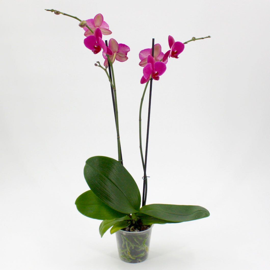 Moth Orchid 4