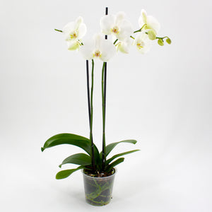 Moth Orchid 4""