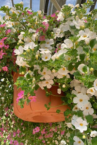 Hanging Baskets Grown by Al's