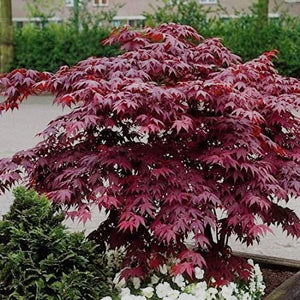 'Bloodgood' Japanese Maple