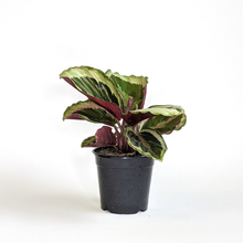 Load image into Gallery viewer, Calathea 'Medallion'  4""
