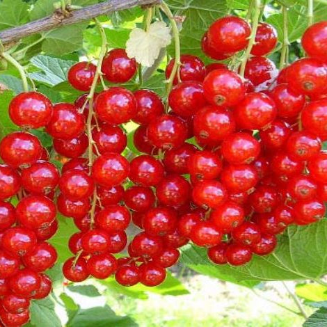 'Cherry Red' Currant