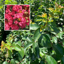 Load image into Gallery viewer, Crape Myrtle