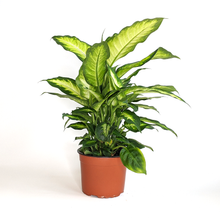 Load image into Gallery viewer, Dieffenbachia 'Camille' 6""