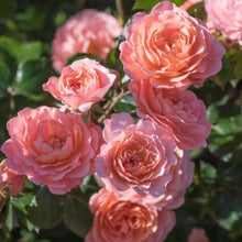 Load image into Gallery viewer, Groundcover Drift® Rose
