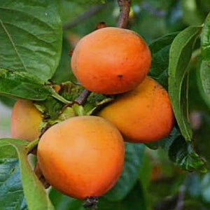 Persimmon Fruit Tree