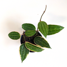 Load image into Gallery viewer, Hoya Macrophylla Long Leaf 4""