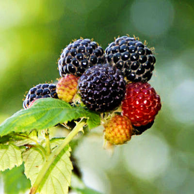 'Munger' Black Raspberry
