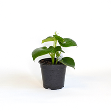 Load image into Gallery viewer, Peperomia 'Raindrop' 4""