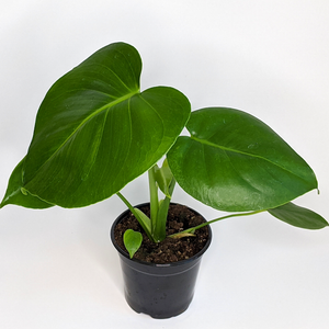 Monstera  deliciosa Split Leaf Philodendron 4""