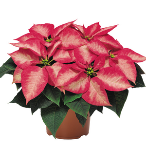Ice Crystal Poinsettia 6""