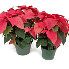 Load image into Gallery viewer, Poinsettia Pink