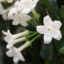 Load image into Gallery viewer, Stephanotis Madagascar Jasmine