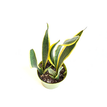 Load image into Gallery viewer, Snake Plant 'laurentii' 6""