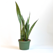 Load image into Gallery viewer, Snake Plant 'zeylanica' 6""