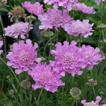 Load image into Gallery viewer, Scabiosa