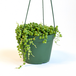 Senecio String of Pearls Hanging Basket  6""