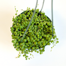 Load image into Gallery viewer, Senecio String of Pearls Hanging Basket  6""