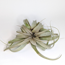 Load image into Gallery viewer, Tillandsia xerographica, Small
