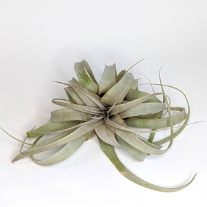 Tillandsia xerographica, Small