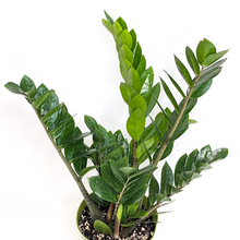 Load image into Gallery viewer, Zamioculcas 'ZZ Plant' 6""