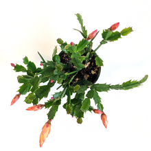 Load image into Gallery viewer, Zygocactus Christmas Cactus 4""