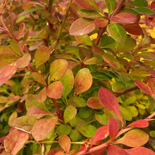 Load image into Gallery viewer, Berberis (Barberry)