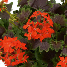 Load image into Gallery viewer, Fancy Leaf Geranium