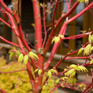 'Coral Bark' Japanese Maple
