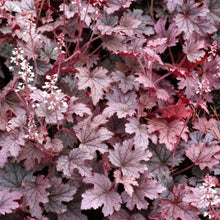 Load image into Gallery viewer, Heucherella