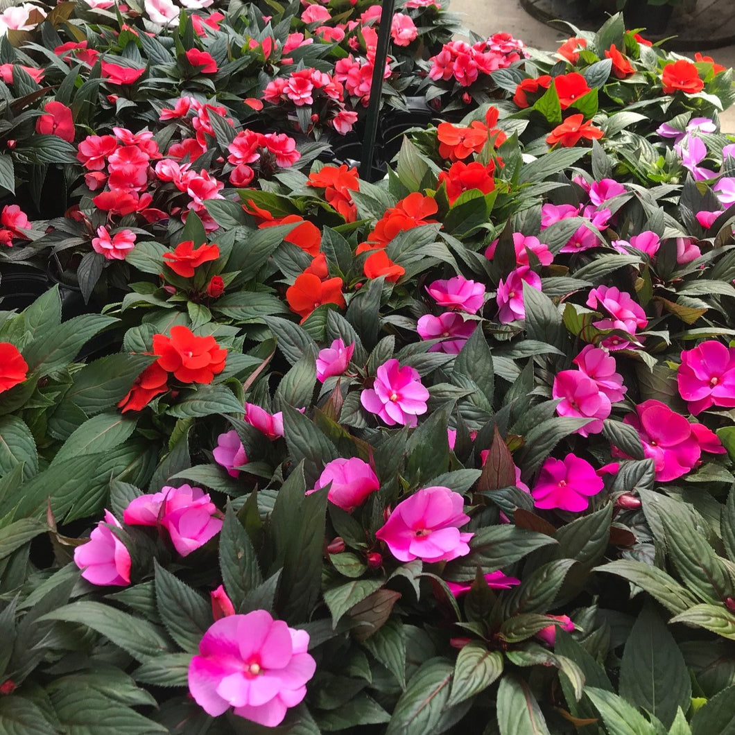 New Guinea Impatiens 5