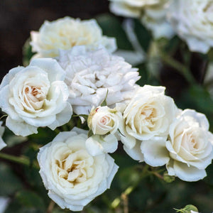 Groundcover Drift® Rose
