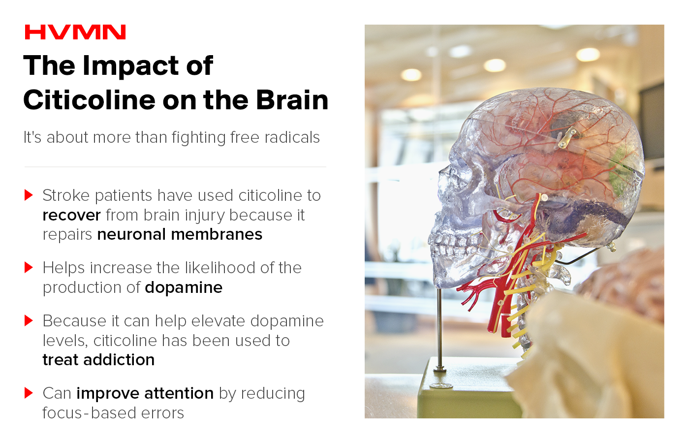 A model of the human brain in a skull, showing the impact of citicoline on the brain