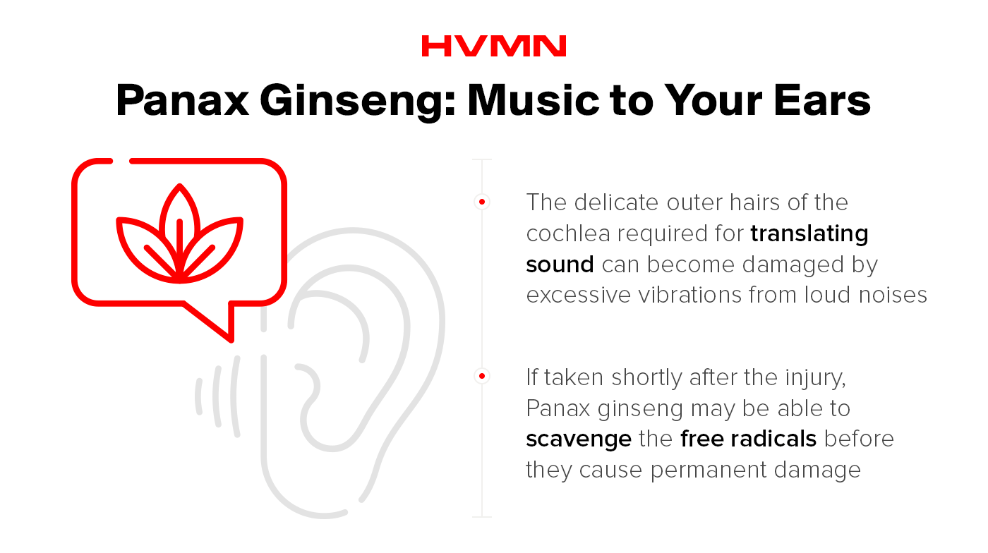 An illustration of an ear, with an herb of panax ginseng next to it, showing how Panax ginseng helps keep hearing healthy