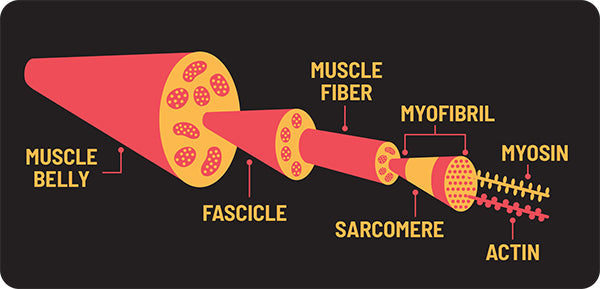 Anatomy of Muscle