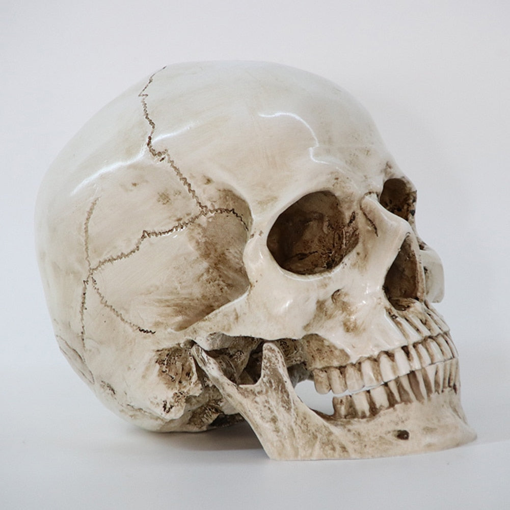 Human Head Resin Replica Medical Model High Quality Decorative Craft Skull Life Size 1:1 Halloween Home Decoration - Hip and Trendy Home Decor & More