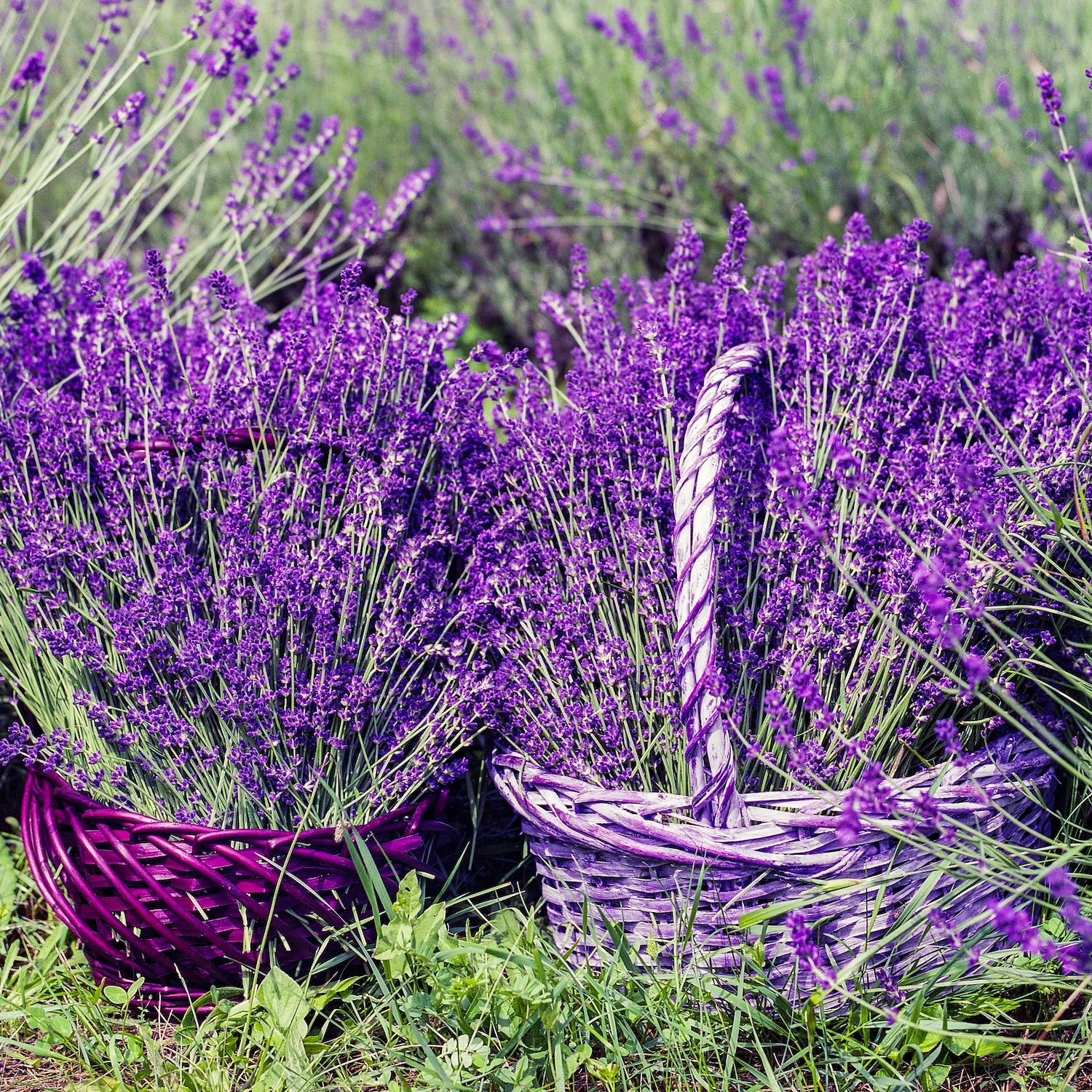 French Lavender Fragrance