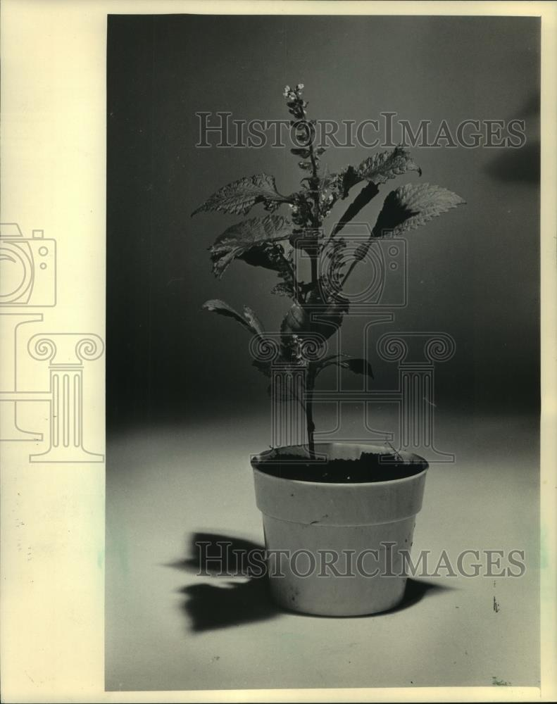 1984 Press Photo A Perilla plant a mint native to eastern Asia and Japan