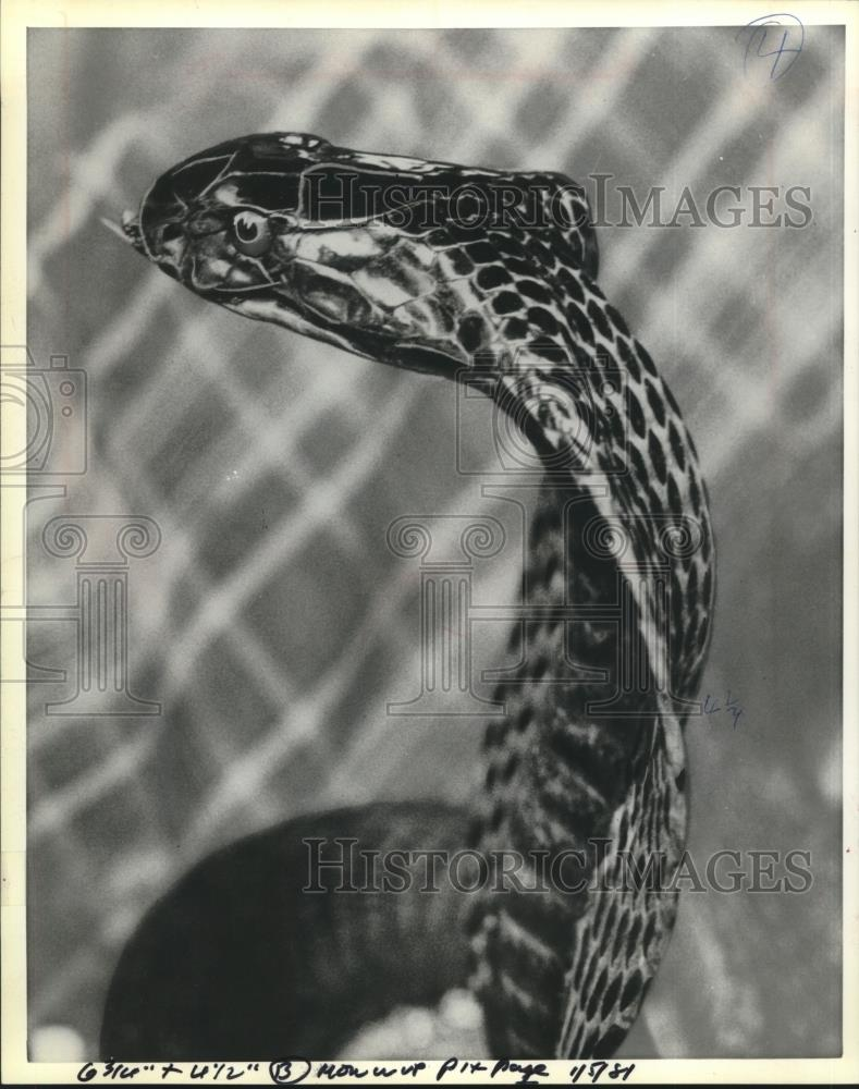 1981 Press Photo Cobra Snake - mjc23061 - Historic Images