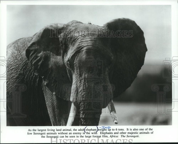 Press Photo An elephant featured in the large format film, Africa: The Serengeti - Historic Images