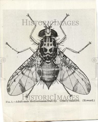 1929 Press Photo Adult male mediterranean fruit fly - Historic Images
