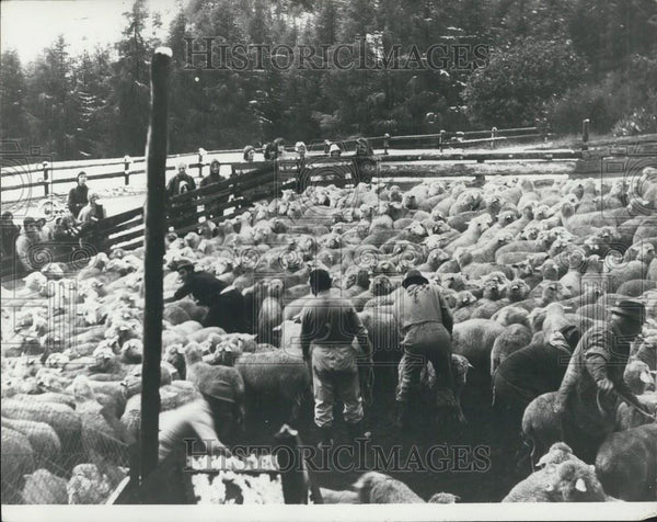Press Photo Swiss Farmers, Sheep - Historic Images