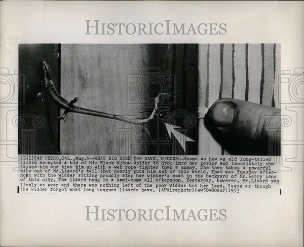 1953 Press Photo lizard black widow spider San Pedro CA - Historic Images