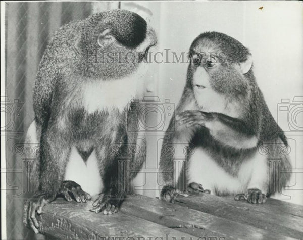 Press Photo Study of communication between monkeys - Historic Images