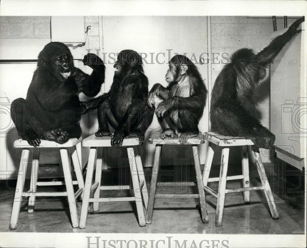 Press Photo Study In Ape Behaviors Four Apes On Stools - Historic Images
