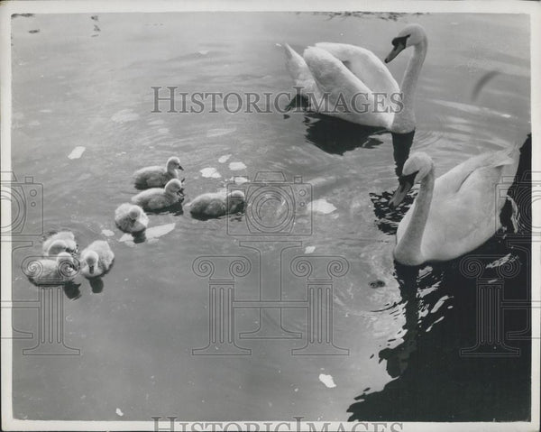 Press Photo Swans and their cygnets - Historic Images