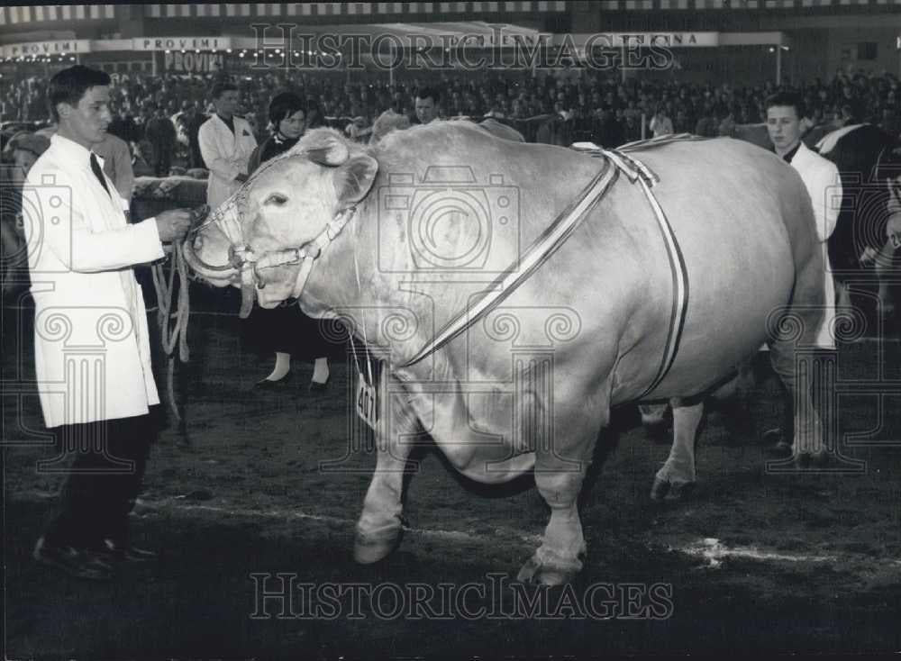 1966 Press Photo International Agriculture show, prize bull on show - Historic Images